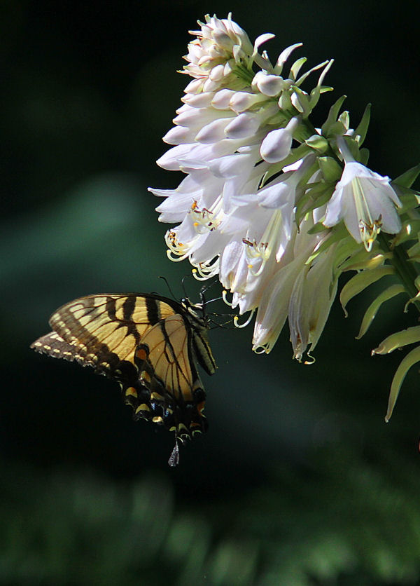 butterfly tiger swallowtail