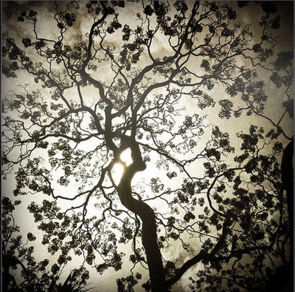 jacaranda tree abstract 1