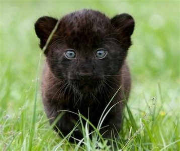 APTOPIX Germany Zoo Panther