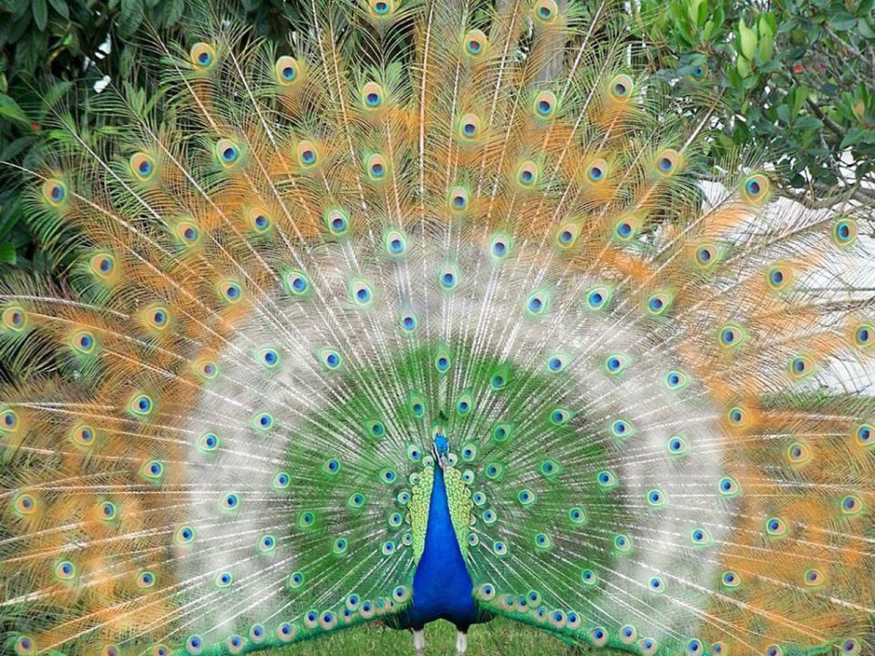Beautiful Green Indian peacock