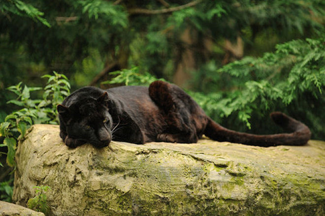 black leopard sleeping by ami 211 on flickr (1)