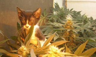 marijuana kitty