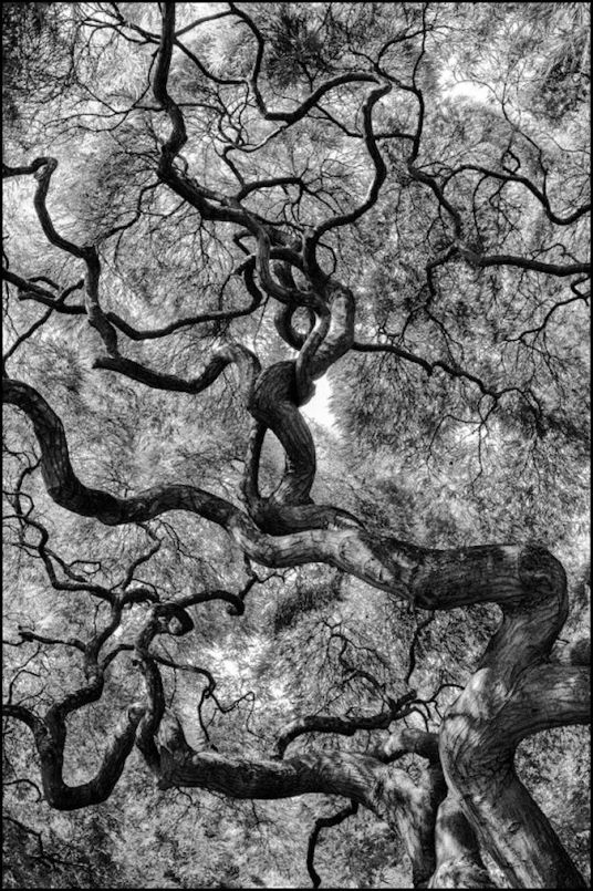 depression twisted japanese maple