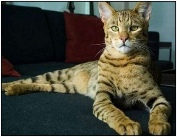 James-a neutered male Savannah Cat lounging on sofa  645x499