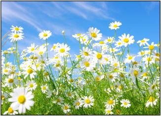 field_of_daisies