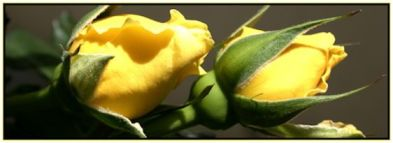 laughter rose buds 2 yellow for siolfer-rose and nana niamh
