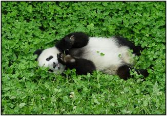 panda amongst 4 leaf clover patch