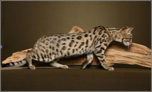 Patrick our Bengal cat his favorite piece of scratching wood  1292x780