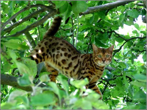 Patrick is our Bengal cat in tree. He loves Scotties. They are buddies.   1612x1212