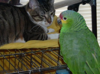 Schroeder-the Jekyll & Hyde of Cats-kisses & snuggles switching instantaneously to bites & growls. And then there's Saki-our Amazon Parrot-my protector-she bites me when she thinks I am in danger. OUCH!!! One of her satisfactions is when she imitates Snoopy on his Sopwith Camel dive-bombing The Red Baron-in this instance replace TRB with Shawn-cannot get near me when Saki is sitting on my shoulder or near me in anyway. A true love/hate relationship with Shawn who gives her peanut treats whenever Saki asks. Now look at the love between S & S. It is a labour of love. In this photograph, Saki has only just started to fly over to us. Her life before us was trauma filled & neglect. Loved Shawn first but switched over to me. Now we are symbiotic & copacetic & share everything-Food & Love & Snuggles & I get a Heroic Protector who sleeps/sits on me when I write or doing anything at all. A Love Note for My Two Favorite Cuddlers.  1280x960