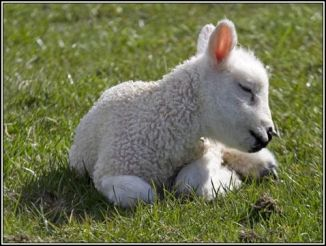 cute-little-lamb