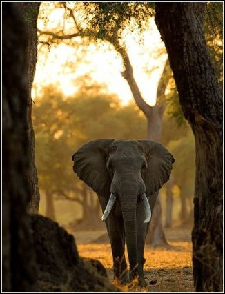 Elephant Walking Amongst the Trees