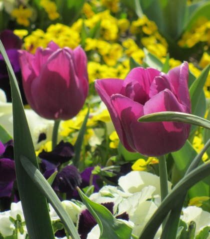 Purple Tulips with White Flowers and Yellow ones in background --- Photographer Unknown   2687x3061