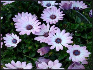 bluish daisies