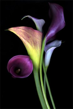 calla_lily_bunch