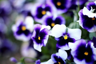 pansies maybe