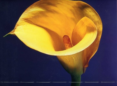 Robert Mapplethorpe --- 28 Closeup Yellow Lily