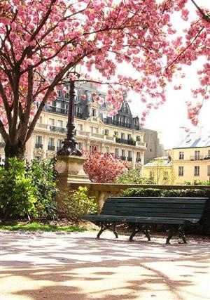 paris cherry blossoms