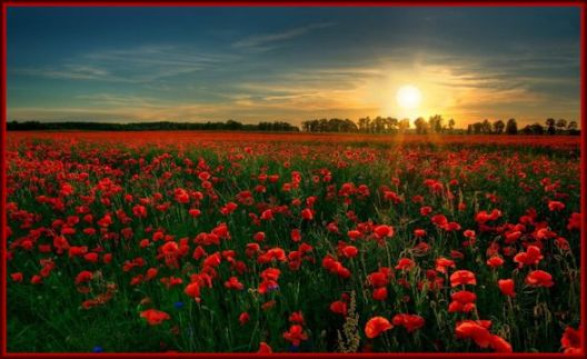 red_flower_garden poppy field sunrise  pw