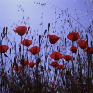 Schitzer - Red Poppies Growing in a Grassy Field