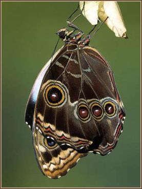 Blue Morpho Butterfly Adult Emerging from Chrysalis