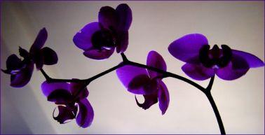 Orchid_flower 5 blue dk blue 4 lady blue