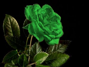 1 a green rose for Ireland