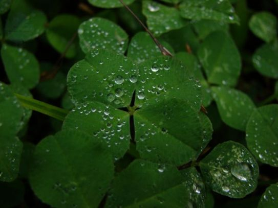 3 clover 4 leaf with drops of water
