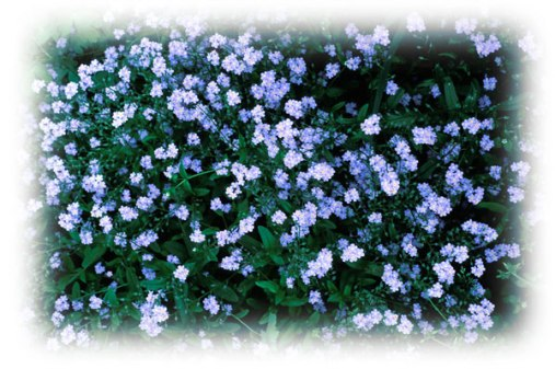 Forget-Me-Not-field