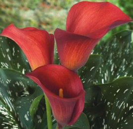 Red Calla Lily Aranal Flower