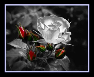 5 photo of white rose with red framed in blue