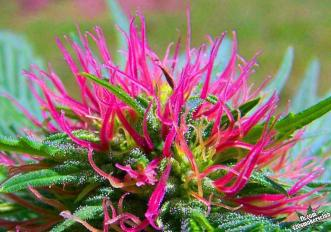 beautiful marijuana bud