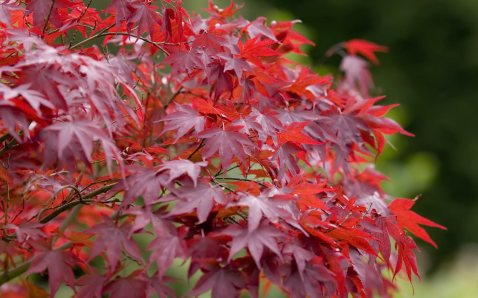 #3 red maple branch leaves