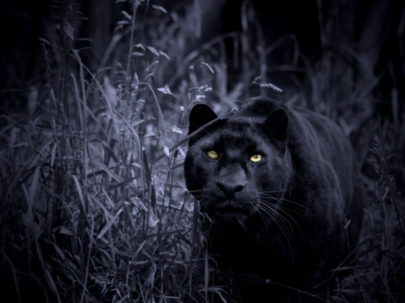 night-stalker-leopard-blue-cat-black-panther-predator-yellow-big-feline-wild