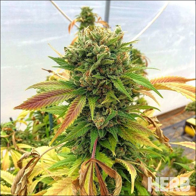 The Most Unbelievably Gorgeous Cannabis Plant IT JUST MAKES YOU SMILE & WANT TO VAPE SOME!!!